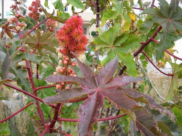 Ricinus communis (i.12cmT.), Der Wunderbaum, Castorpflanze
