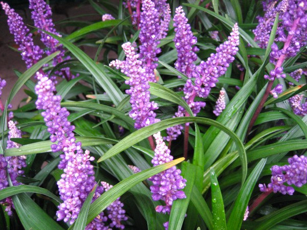 Liriope muscari ´Royal Purple`(9cmT.) Lilientraube