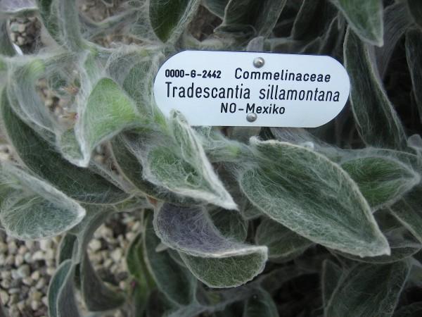 Tradescantia sillamontana (i.9,5cmT.) Silber - Tradescantia