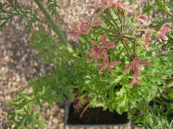Pelargonium carnosum (I.11cmT.) Sukkulenten Pelargonie
