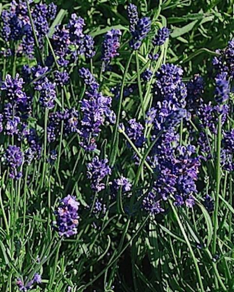 Lavandula angustifolia ´Hidcote Blue` (i.12 cmT.) Lavendel, blau