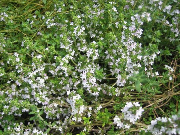 Thymus vulgaris (i. 13 cm T.) Französischer Thymian