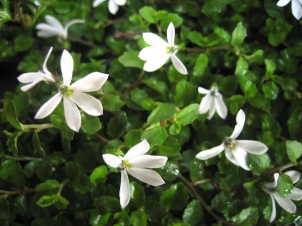 Pratia perpusilla (i.9cmTopf)aus Neuseeland Lobelia
