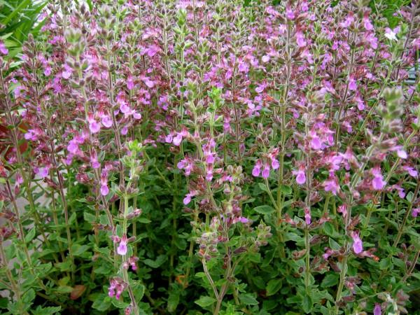 """Teucrium x lucidrys """"Pink""""(i.9cmT.), Immergrüner Edel-Gamander"""