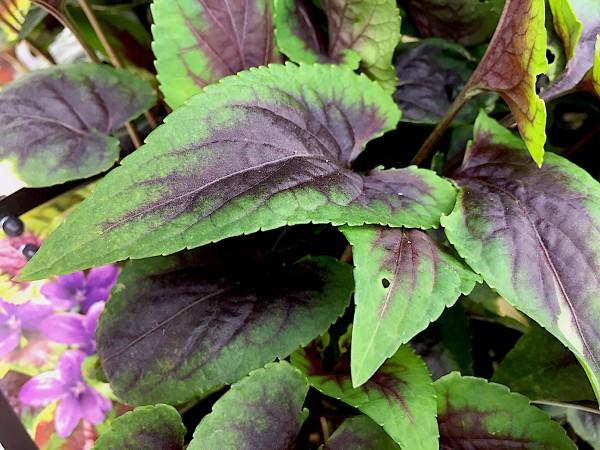 """Viola Hybride """" Heartthrob"""" (i.17cmT.), Blattschmuck - Veilchen"""