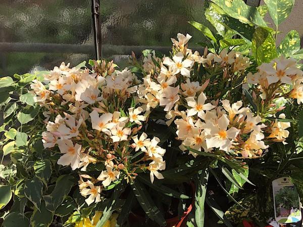 """Nerium oleander """"creme orange offene Blüte"""" (i.14cmT.)"""