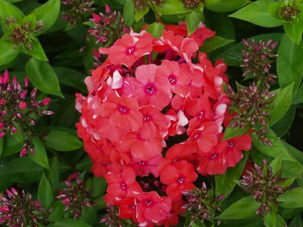 "Phlox paniculata ""Orange Perfection"" (i.11cmT.), Sommer - Phlox"