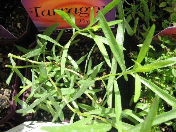 Artemisia dracunculus v. sativa (i.12 cm Topf) Franzoesischer Estragon