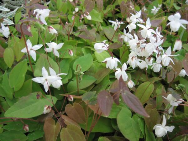 Epimedium x youngianum ´Niveum` (i.9cmT,) Elfenblume