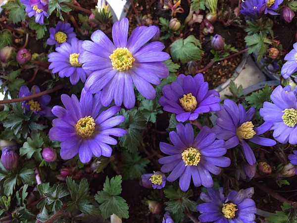 "Anemona blanda ""Blue Shades"" (i.9cmT.), Balkan - Windröschen, Frühlingsanemone"