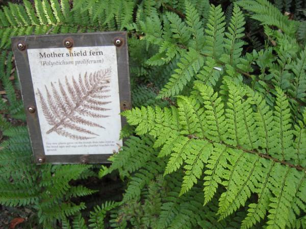 """Polystichum set. """"Proliferum gen.""""(11cmT.) Schmaler Filigranfarn"""