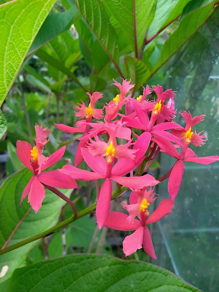 """Epidendrum radicans """"roter Star Hybride"""" (i.12cmT.),Feuer- Stern- Orchidee"""