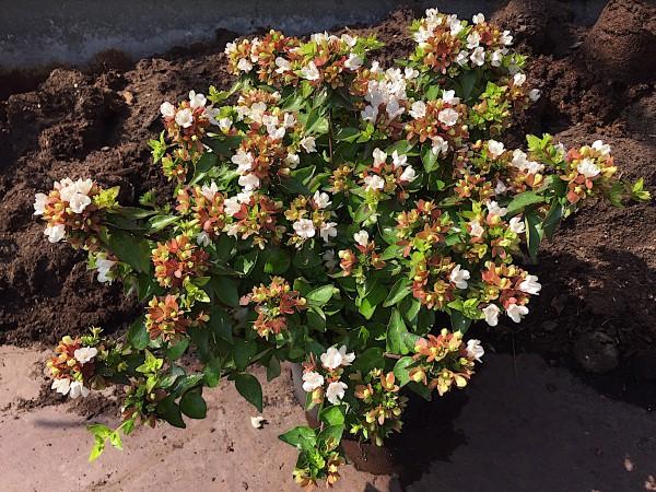 "Abelia x grandiflora ""Little Lady"" R (i.19cmT.), Abelie"