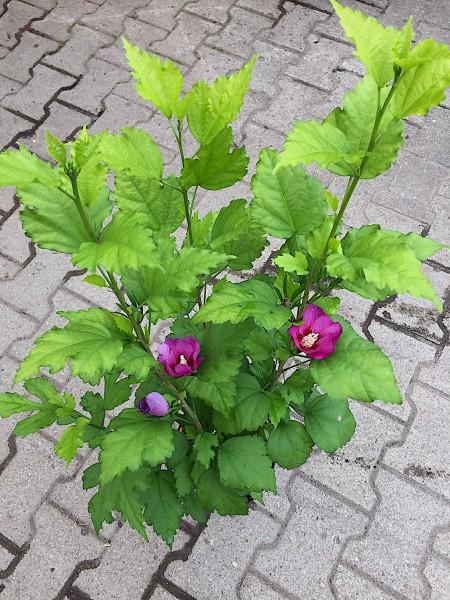 """Hibiscus syriaca """"Glücks Farbe"""" (i.16cmTopf), Straucheibisch, Garteneibisch"""
