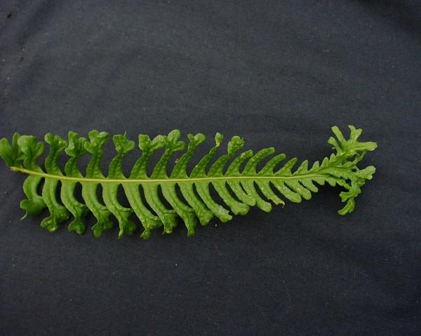 Polypodium vulgare ´Bifido Multifidum`(i.11cmT.) Gabeltüpfelfarn