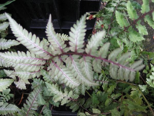 Athyrium nipponicum ´Red Beauty` (i.15cmT.) Regenbogenfarn