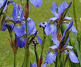 """Iris sibirica """"Blue Emperor"""" (i.9cmT.) Iris Schwertlilie"""
