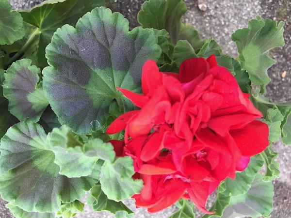 "Pelargonium zonale ""senna rot"" (i.11cmT.)"