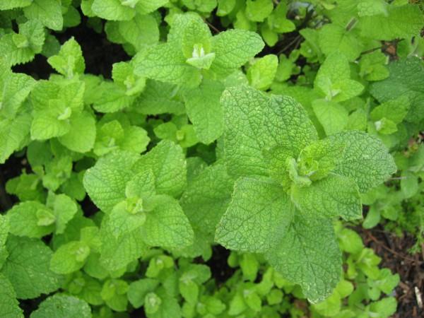 Mentha rotundifolia ´Bowles` (i.13cm Topf) Bowles Apfelminze