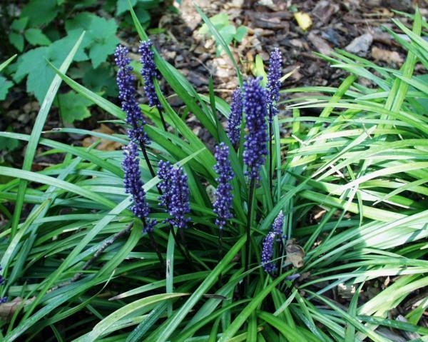 Liriope muscari ´Big Blue` (i.12cmT.) Lilientraube