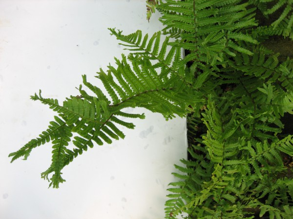 Dryopteris affinis ´Polydactyla Dadds`(i.11cm T.) Troddelgoldschuppenfarn