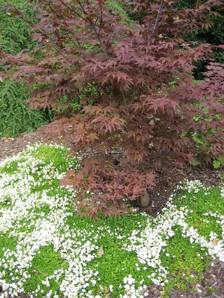 """Campanula haylodgensis """"White Wonder"""" (i.11cmT.) Röschen Glockenblume"""