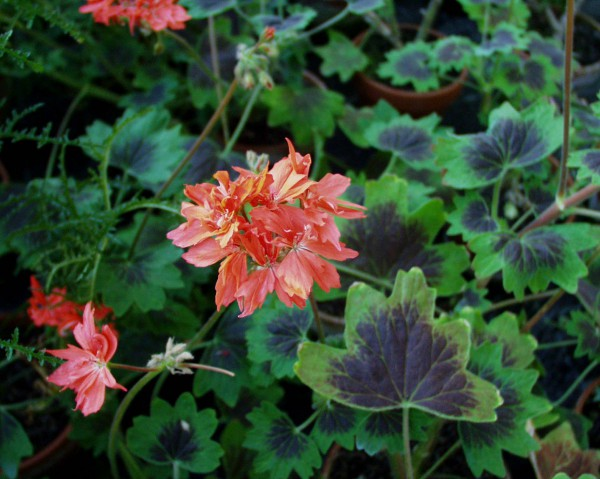 Pelargonium Sternblütige ´Rose Startel` (i.11cmT.)