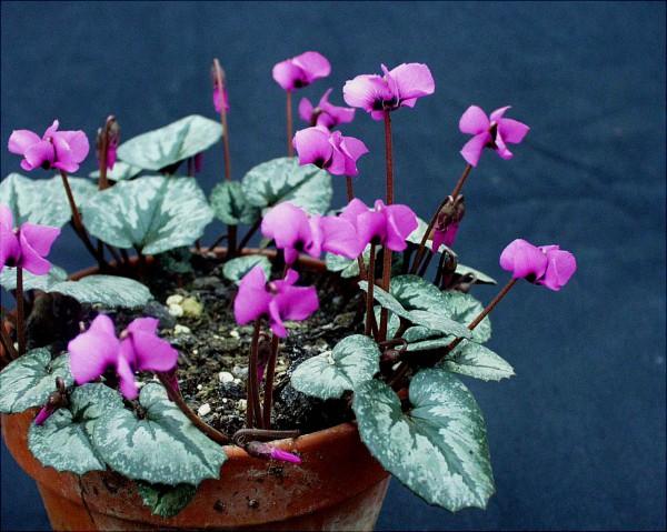 Cyclamen alpinum= trochop.(i.8cmT.)