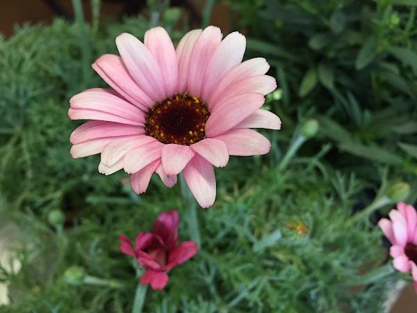 "Leucanthemum hosmariense ""African Rose"" (i.11cmT.)"