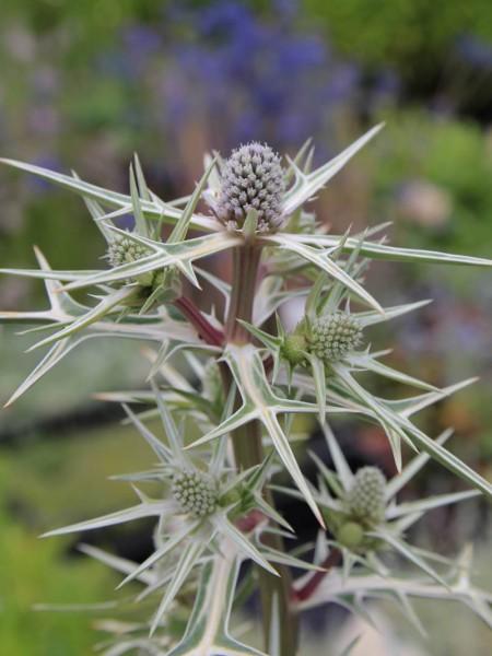 Eryngium variifolium (i.9cmT.) Edel-Distel, Mannstreu