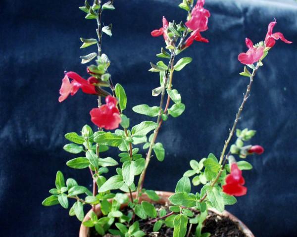 Salvia gregii (i.19cm T.) Pfirsichsalbei