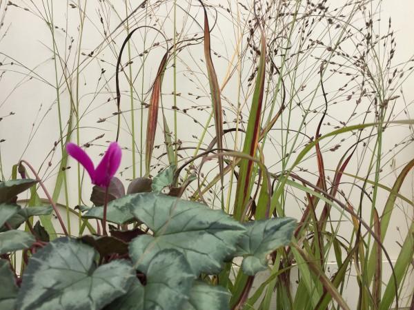"Panicum virgatum ""Shenandoah""(i.11cmT.) Purpur Ruten Hirse"