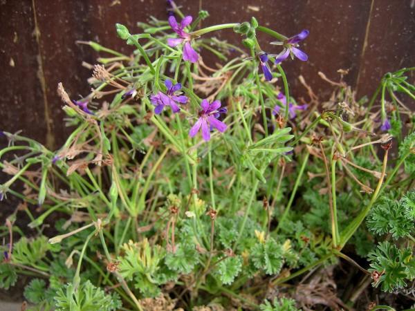 "Pelargonium ""Lilac Dream""(I.11cmT.)"