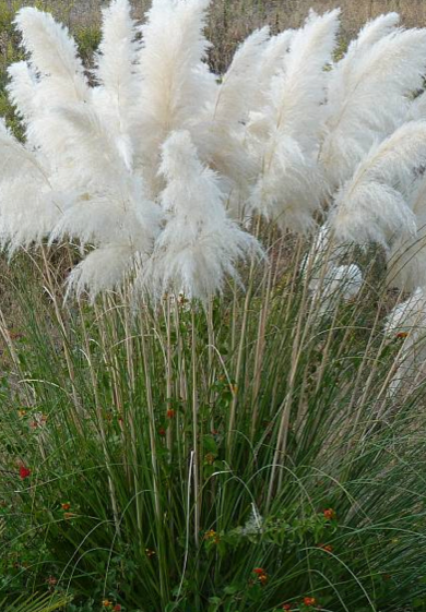 """Cortaderia selloana """"White Feather"""" (i.16cmT.) Pampasgras, weiss"""