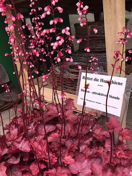 "Heuchera villosa ""Autumn Leaves ® (i.12 cm T.), Purpurglöckchen"
