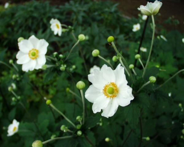 Anemone japonica ´Honorine Jobert`(i.11cm.T.) Japan-Anemone