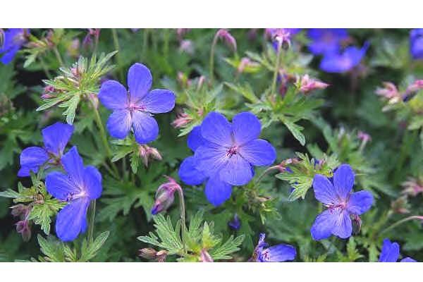 "Geranium pratense ""Johnson's Blue""(i.9cmT.), Storchenschnabel"