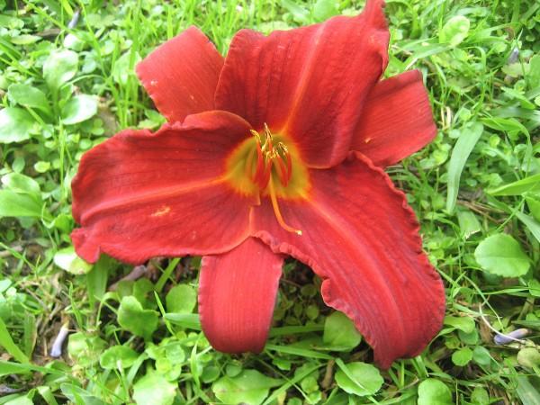 "Hemerocallis Hybride ""Ruby Red"" (i.11cmT.) Taglilie, aus Neuseeland importiert"