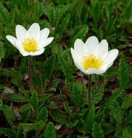 Dryas suendermanii (i.9cmT.) Gartensilberwurz- Sündermanns