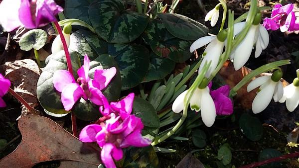 Galanthus nivalis (8 Zwiebeln in der Tüte) Schneeglöckchen