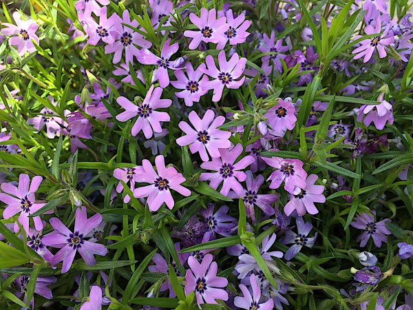 "Phlox douglasii ""lila"" (i.12cmT.)"