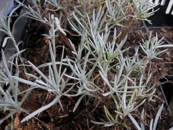 Helichrysum italicum `Silbernadel`(i.12 cm T.) Currystrauch