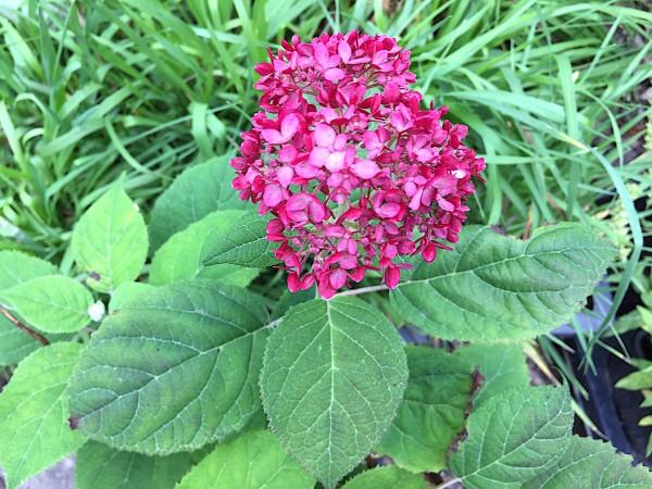 "Hydrangea arborescens ""Ruby Annabelle R"" (i. 17cmT.)"