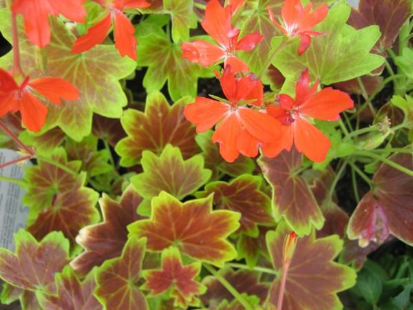 Pelargonium ´Vancouver`(I.11cmT.)