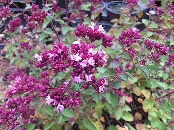 """Origanum Laevigatum-Hybride """"Rosenkuppel"""" rosa (i.9cmT.)"""