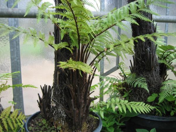 Dicksonia antarctica (i. 18 cm Topf) Weicher Baumfarn