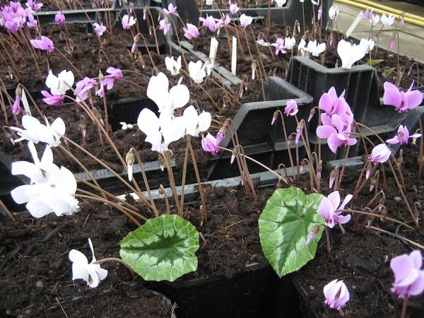 "Cyclamen hederifolium ""Mix im 6 er Pack"" (i.9cmT.)"