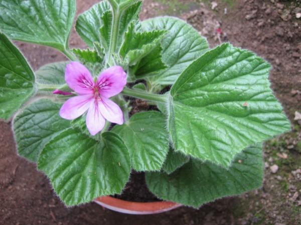 Pelargonium cucullatum ´Kapuzenpelargonie`(I.11cmT.)