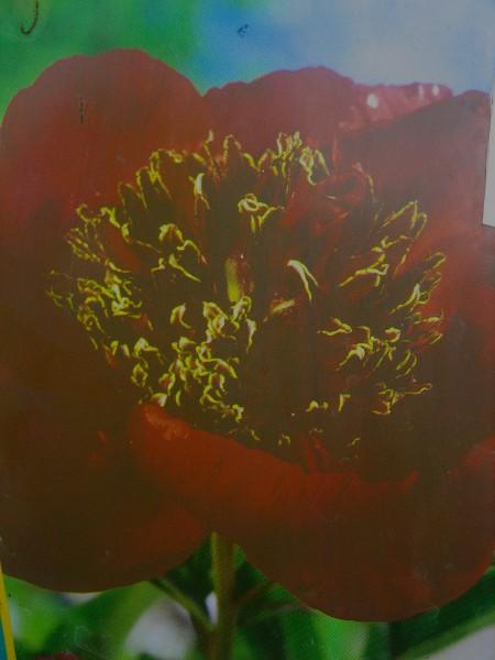 "Paeonia lactiflora ""Nippon Beauty"" (i.12cmT.) Pfingstrose"