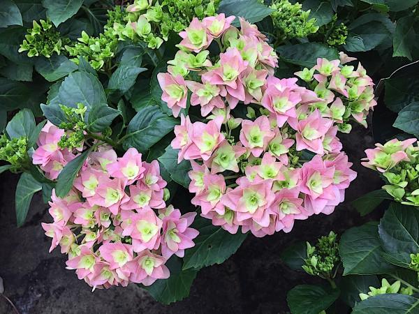 "Hydrangea macrophylla ""Double Dutch"" (i.23cmT.)(ca 10 Blüten)"